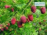 Blumen-Senf Rubus Thornless Tayberry 55 cm Himbeere-Brombeere Kreuzung 'Tayberry'