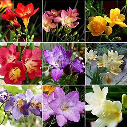 kisshes giardino - miscela di semi di fresia profumo semi di fiori semi di fiori giardino da interno rari bonsai lampadine da giardino balcone/patio
