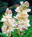 Duft-Tuberose The Pearl,6 Knollen Polianthes tuberosa von BULBPLANT auf Du und dein Garten