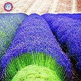 200 PCS graines de lavande français de provence graines de lavande bio très parfumée plante fleur de parfum Graines de fleurs Accueil bonsaï Jardin 2