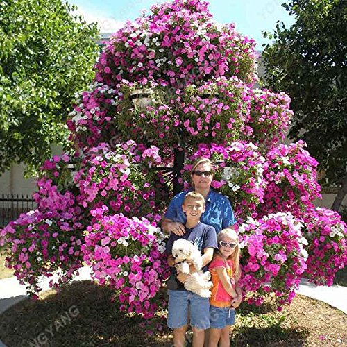 100 / Paquet Rare Graines Petunia Grissinis Jardin Pétunia arbre biologique Très Belle Graines de fleurs bonsaïs Illuminez votre maison jaune
