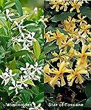 2 Toscan Jasmin (Sternjasmin (Immergrün)) - 2 Kletterpflanzen - Gelb und Weiß | lieblich-intensiven Duft - Immergrün und Winterhart - 1,5 Liter Topfen | ClematisOnline Kletterpflanzen & Blumen