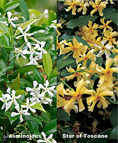 Sternjasmin: 3 Toscan Jasmin / Trachelospermum jasminoides: 3 kaufen, 2 bezahlen - Gelb (2) und Weiss (1) - 1,5 Liter Topfen - Immergrün & Winterhart | ClematisOnline Kletterpflanzen