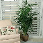 Parlor palms once graced Victorian homes, but they're still popular today, thanks to their ability to adapt to low light and humidity. They're also on NASA's list of 50 indoor plants that help clean the air. Most palms will develop root-rot if their ...