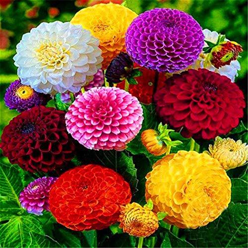AIMADO Samenhaus-50 Stück Zinnie Blumensamen großblumige Mischung Sommerblumen Staudenbeete,schöne Blumen Pflegeleichte Saatgut Samen für Garten Balkon