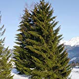 PLAT FIRM Germinazione I semi PLATFIRM-abete rosso Picea Abies - 30+ Seeds