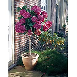 """Garten-Hortensie, rosa, Hydrangea macrophylla""""Alpenglühen"""", 1 Hochstamm, 1 Pflanze, 70-90 cm hoch"""