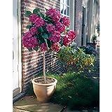 Garten-Hortensie, rosa, Hydrangea macrophylla