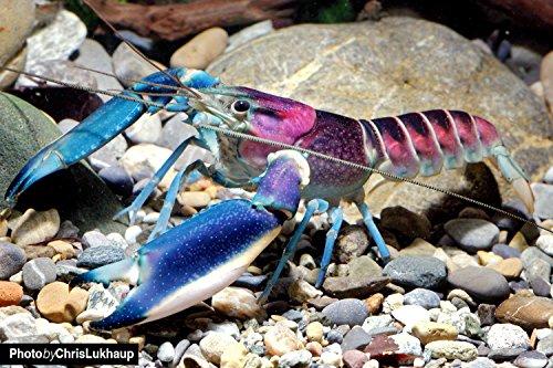 Blau-Rosa Krebs - Cherax Pulcher - Wunderschöner Aquarienkrebs für Aquarium