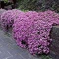 Seifenkraut Teppich-Seifenkraut 50 Samen (Saponaria ocymoides)