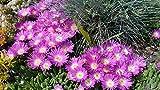 """Kakteengarten winterharte Mittagsblume/Delosperma congestum """"Lesotho Pink"""" im 9cm Topf"""