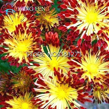 grandes-de-la-venta-100-unidades-porcion-del-crisantemo-semillas-semillas-raras-jardin-de-flores-de-