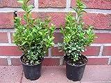 50 Buchsbaum Pflanzen im Topf, Buxus sempervirens, Höhe: 10-15 cm