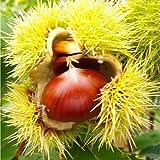 Esskastanie Belle Epine, 1 Pflanze