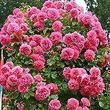 Kletterrose Rosarium Uetersen in Rosa - Kletter-Rose winterhart & duftend - Strauchrose, Pflanze wurzelnackt/Wurzelware von Garten Schlüter Pflanzen in Top Qualität