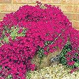 Soteer 100 Stück Steinkraut Blumen Samen Seltenen Gänsekresse Arabis Samen Blumenmeer Winterhart Mehrjährige Pflanzen für Haus Garten