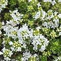 Thymian, Thymus serpyllum 'Albus' von VDG-Stauden auf Du und dein Garten