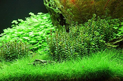 Dennerle Plant It Invitro Live Aquarium Plant - Rotala indica - In-Vitro 2