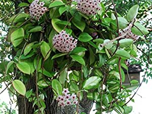 1 pianta hoya carnosa rubra fiore di cera vaso 14cm for Pianta di cera