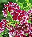 """BALDUR-Garten Duft-Geranie """"Moskito-Schocker®"""",3 Pflanzen von Baldur-Garten - Du und dein Garten"""