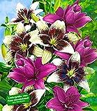 BALDUR-Garten Lilien-Mix 'Tango & Lilac', 5 Zwiebeln Lilium -