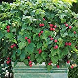 Rubus idaeus 'Ruby Beauty'Â - Framboisier nain