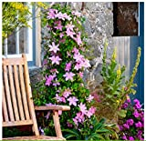 AIMADO Samen Clematis Samen Kletterpflanze Samen Clematis Blumensamen Pflanzen Saatgut winterhart mehrjährig für Balkon, Garten Zierpflanzen