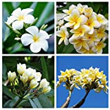 Soteer Garten- Zitronenduft Plumeria rubra Samen Frangipani Blume Samen selten für Garten, Balkon, Topf usw. 10 Samen