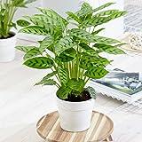 Calathea Leopardina Houseplant - Live Patterned Indoor Prayer Plant in 12cm Pot