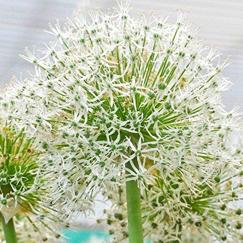 100 graines Fleurs de Chine géant oignon blanc Allium Giganteum semences ornementales Plantes Bonsai Bricolage Jardin & Balcon-Land Miracle
