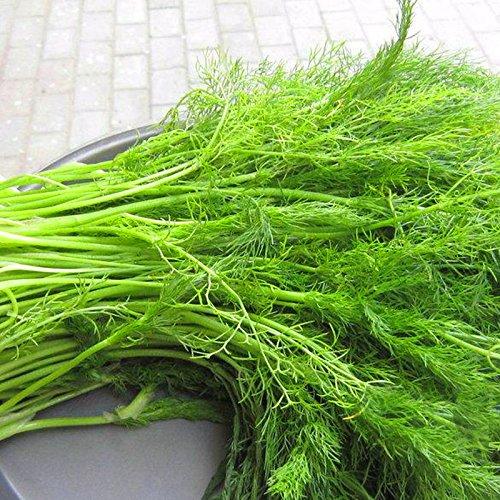 100 graines / emballer l'Europe ampoule parfumée graines de fenouil organique plante bonsaï végétale bricolage maison jardin