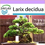 SAFLAX - Bonsai - Europäische Lärche - 75 Samen - Larix decidua