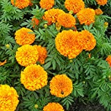 #8: Marigold Pusa Navrangi, Tagetes erecta pusa navrangi Flower Desi Seeds Summer Variety Special for Home and Balcony Gardening (Buy 1 Get 1 Free) By Gate Garden