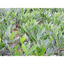 3 Stück Kirschlorbeer 'Otto Luyken' (Prunus lauroc. 'Otto Luyken') im Topf 40-50cm