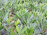 1 Stück Kirschlorbeer 'Otto Luyken' (Prunus lauroc. 'Otto Luyken') im Topf 40-50cm