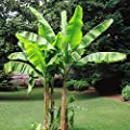 Bananenbaum Musa Basjoo von Meingartenshop - Du und dein Garten