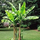 Bananenbaum Musa Basjoo - 1 baum