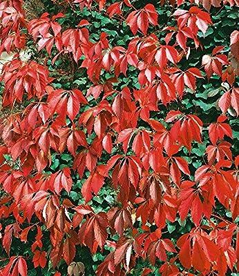 BALDUR-Garten Wilder Wein 'Quinquefolia', 1 Pflanze von Baldur-Garten auf Du und dein Garten