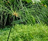 Cyperus papyrus - Papyrus - 15 graines