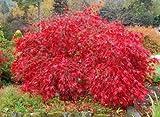 Rote Spitze Blatt Japanischer Ahorn, Acer palmatum atropurpureum dissectum, Baum Seeds 10