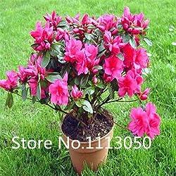 Verkauf! 200pcs 10 Arten Bonsai Rhododendron simsii Seeds 100% echte Bio-Blooming-Blumensamen Gartenpflanze
