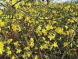 Kletterpflanze Jasminum - Winterjasmin 60-100cm im 2L Topf gewachsen