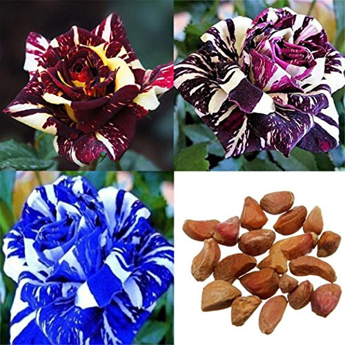 Ncient Semillas Rosas Raras Fores Semillas Aromaticas Plantas Bonsai para Maceta Jardín Balcon Interior y Exteriores