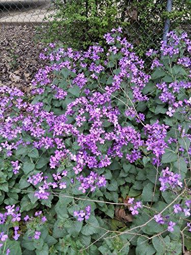 Samen-Paket Nicht Pflanzen :: Lunaria annua - Geld Seed Seeds