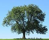 Baum des Jahres 2001 - Esche im Container Größe 100 bis 125 cm