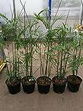 Bambuspalme 140-170 cm Chamaedorea seifrizii Bergpalme Zimmerpflanze Zimmerpalme