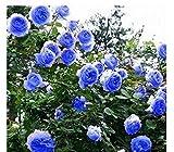 #6: Blue Climbing Rose Flower Seeds by E Garden