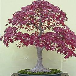 50Samen Japanischer Ahorn Bonsai Baum rot Ahorn Gorgeous Farbe 100% echtem Samen DIY Home Garden Bonsai Tree Seeds