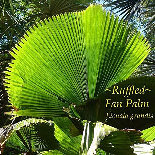 PlenTree ~Licuala Grandis~ Ruffled Fan Palm Circular Leaf Vanuatu Sml Pot'D Palm Seedling