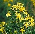 Echte Johanniskraut (Hypericum perforatum) 100 Samen von Samenfarm bei Du und dein Garten